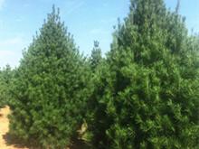 常见十大松树的种