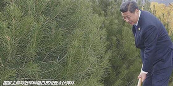 白皮松APEC亚太伙伴林