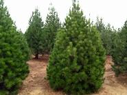 白皮松小苗:苗木的常见修剪类型