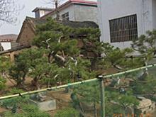 白皮松造型及白皮松苗木盆景实践栽植经验