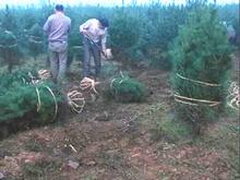 2016年苗木市场回升在望