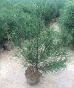 陕西白皮松种植技术分析