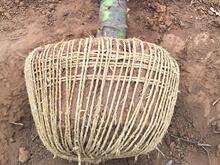 白皮松带土球起苗技术