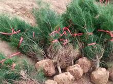 陕西白皮松及绿化苗木分级标准