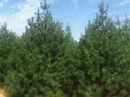 防雾霾树种