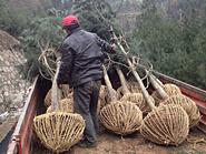 白皮松苗木怎样施肥与管理
