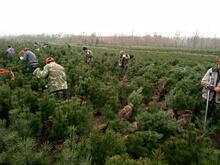 发往包头的2千棵1米白皮松树苗