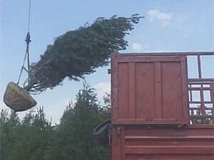 6米一级白皮松装车,发往北京