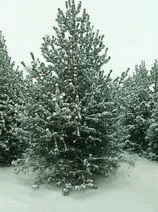 白皮松苗木有什么价值