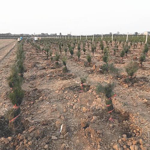 近期蓝田种植白皮松小苗达到高峰