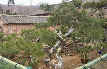 盆栽造型白皮松