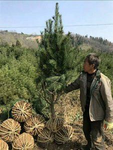 西安白皮松:苗木行业的未来发展