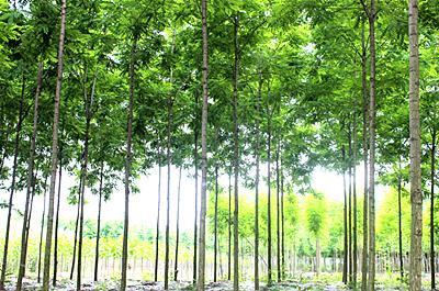 一种长势惊人的苗木新树种_泓森槐