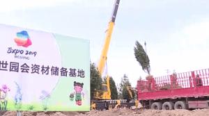 """百余株陕西白皮松提前抵达北京世园会""""陕西园""""适"""