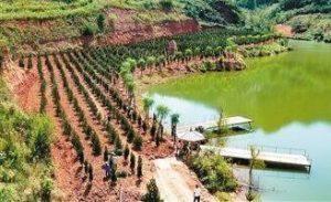白皮松小苗要如何灌溉?