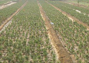 白皮松苗木种植时不能使用三种肥料