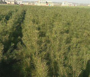 肥料中不同的元素对白皮松苗木有什么作用?