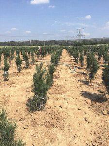 陕西白皮松定植时的灌溉注意事项