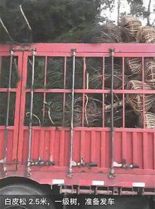 蓝田2.5米白皮松装车发往河北