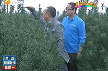 选购白皮松树苗需要留意什么?