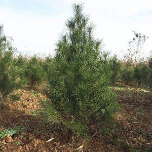 白皮松种植基地:灌木的造型