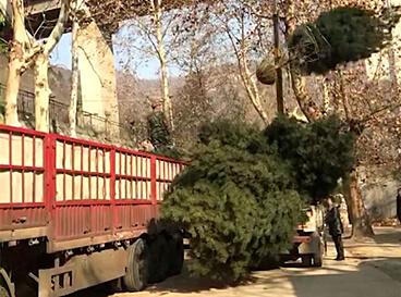 4米白皮松二级,装车发往石家庄