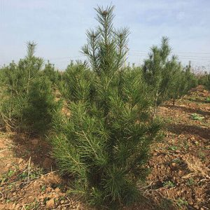 陕西白皮松:绿化苗木所具有的优点