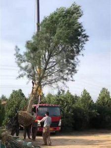 白皮松小苗:影响树苗扦插生根成活的的要素