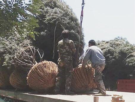 松树的常见种类有哪些?
