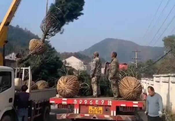 5米白皮松继续发往北京