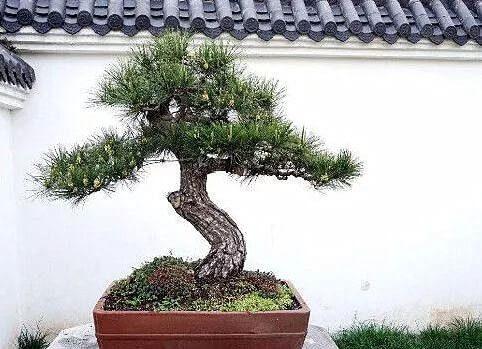 白皮松盆栽造型苗