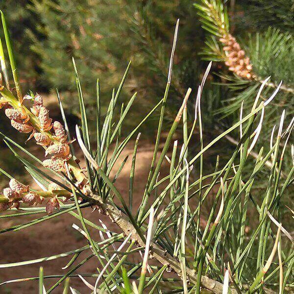 白皮松大树针叶发黄的真正原因及解决办法