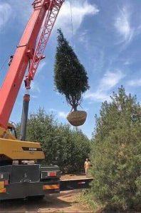 白皮松价格步入常态化,成为大面积荒山造林的首选树种